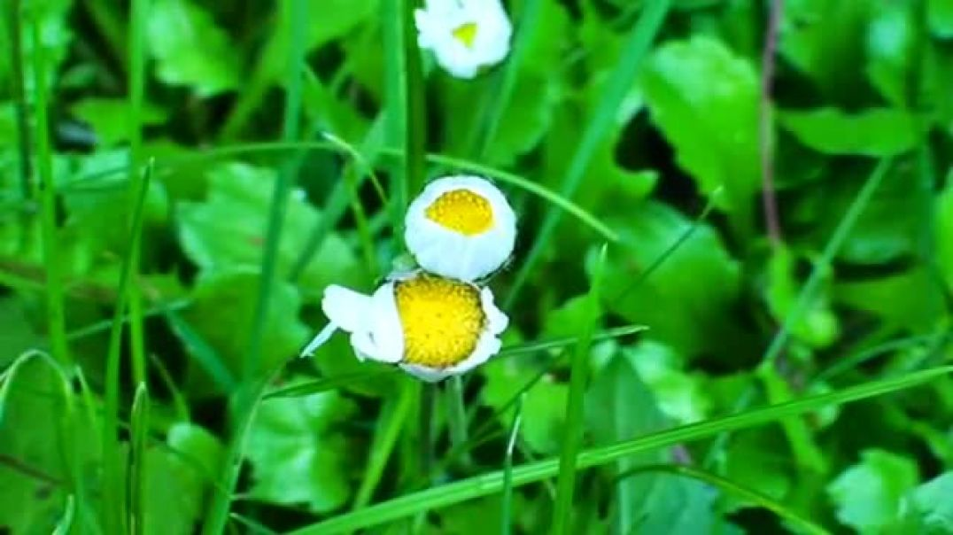 Blooming Daisy Flowers Timelapse